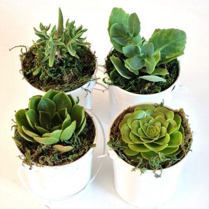 Single Succulent Gift