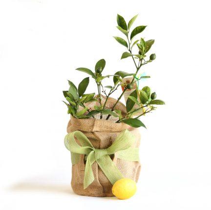 lemon tree gift
