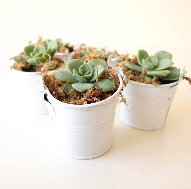 Mini Succulent Wedding Favours Bonbonniere Fleurieu Gifts