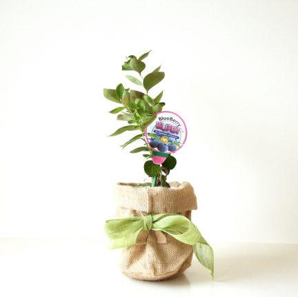 Blueberry bush gift