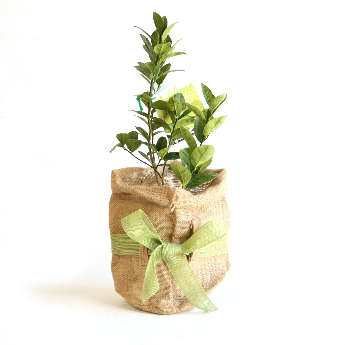 lime tree gift