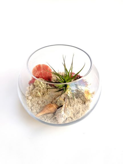 seascape terrarium featuring an airplant, shells and moss.