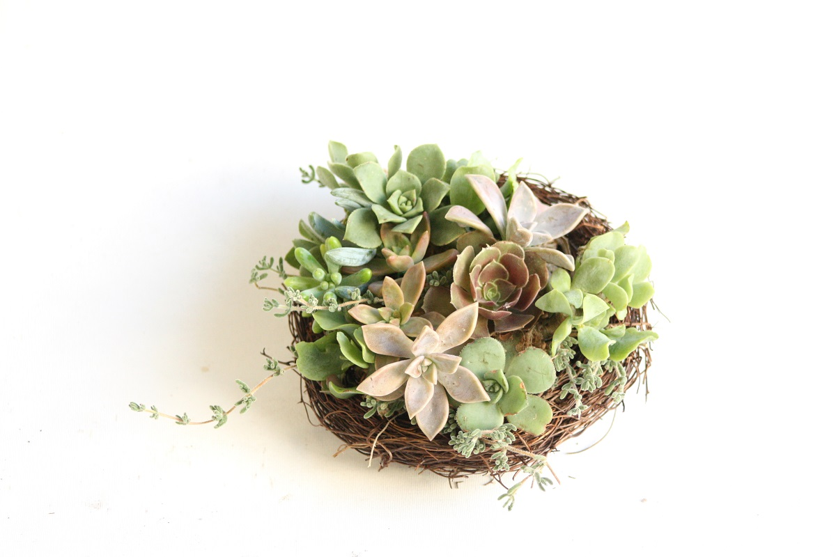 Small succulent nest