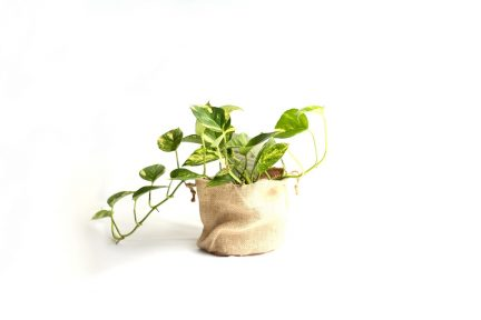 Pothos Devil's Ivy