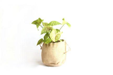 Syngonium indoor plant